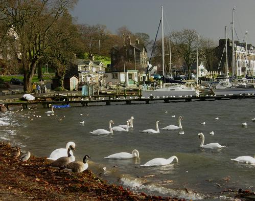 Swans in a storm