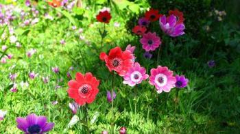 anemonies and cyclamens - maria joy