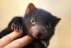 tasmanian devils are having a tough time