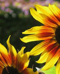 Sunshine - m.joy