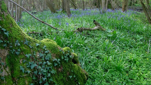 Mossy tree and Bluebells - m.joy
