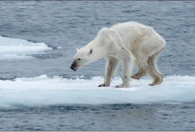 Emaciated Polar Bear by Kerstin Langenberger