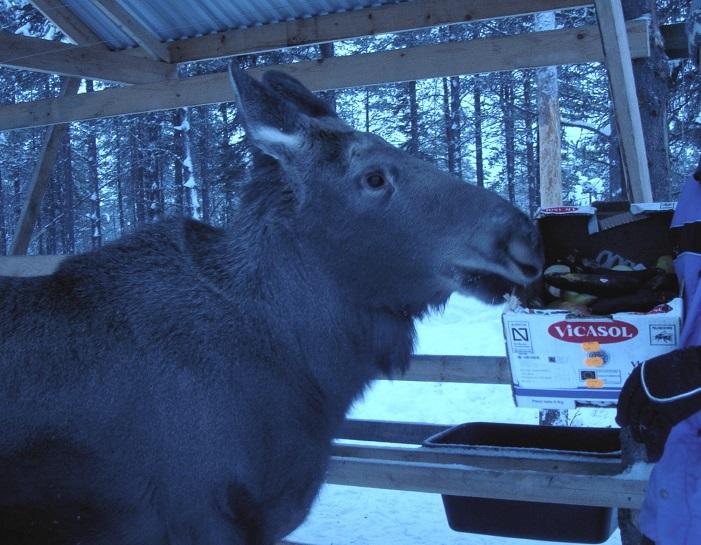 Moose like Bananas - m.joy