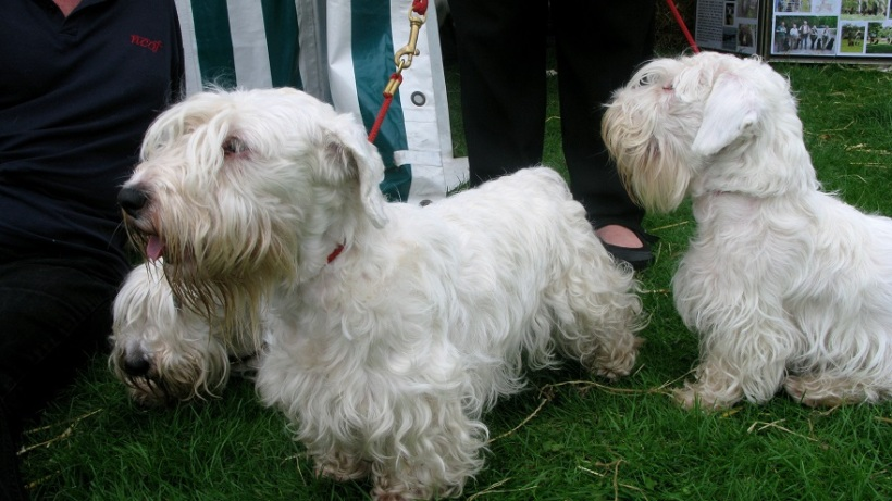 Sealyham Terriers - m.joy