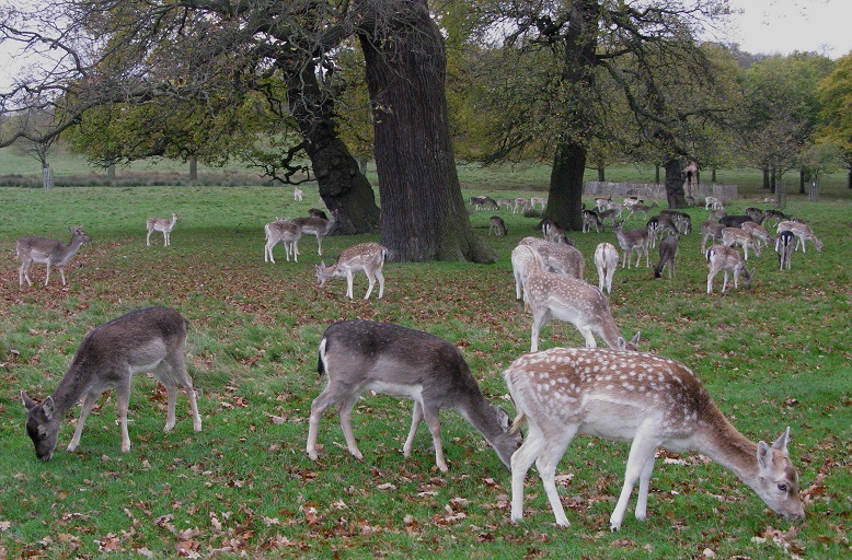 Deer - Richmond Park -m.joy