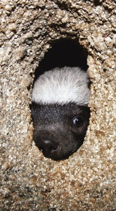 Badger looking out his hole