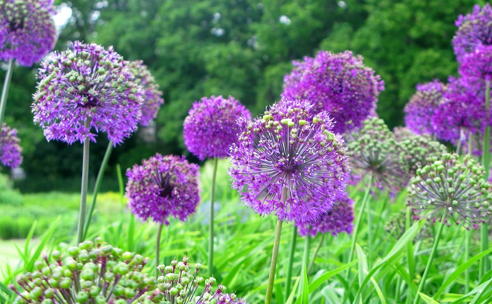 Purple Alliums - m.joy