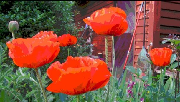 Poppys - m.joy