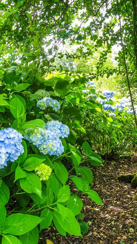 Blue Hydrangeas - M.Joy