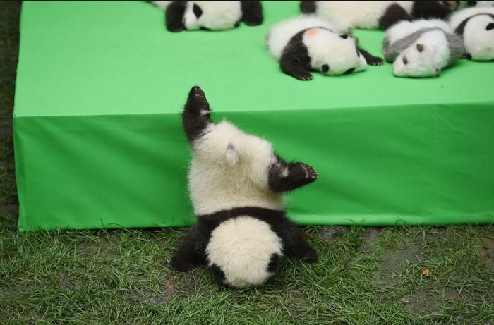 Panda Baby takes a tumble