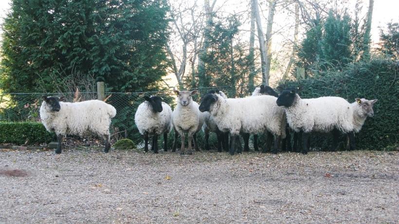 Suffolk Sheep - m.joy