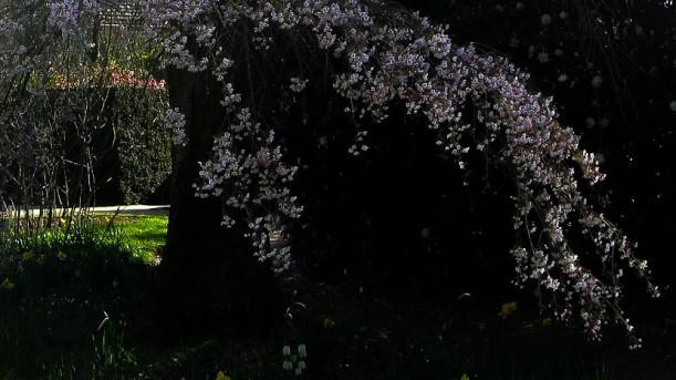Cherry Blossom - maria joy