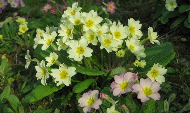 Wild primrose - m.joy